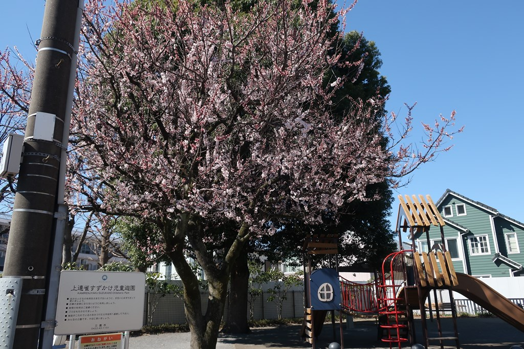 上連雀すずかけ公園 花見 桜