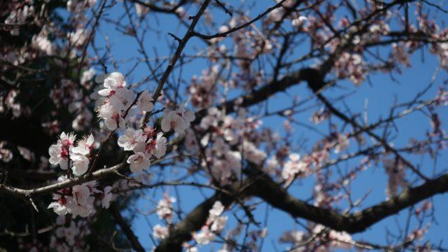 上連雀すずかげ公園 花見 桜